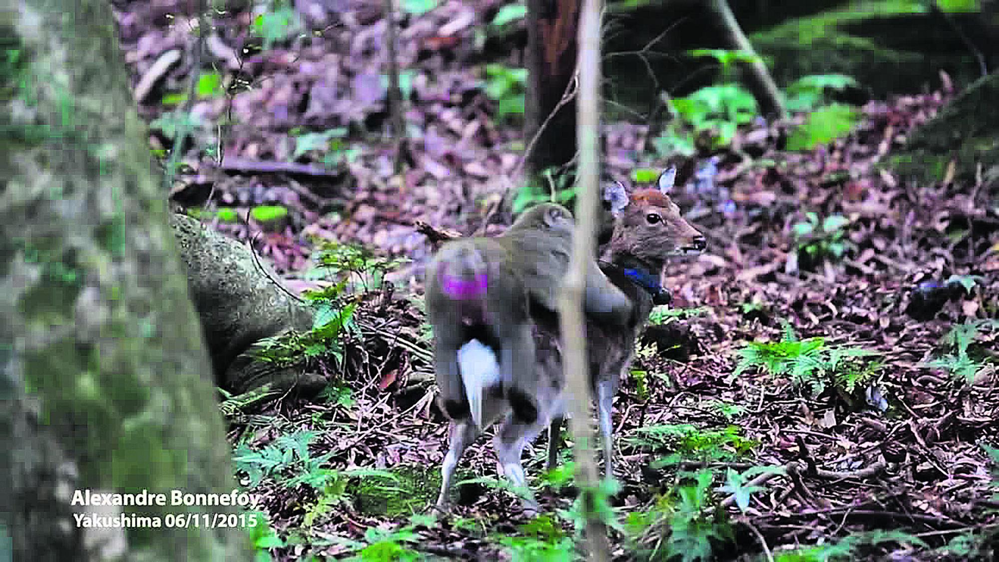 makakas-elafina-1 Ο παράφορος έρωτας του μακάκα με μια ελαφίνα [εικόνες & βίντεο]