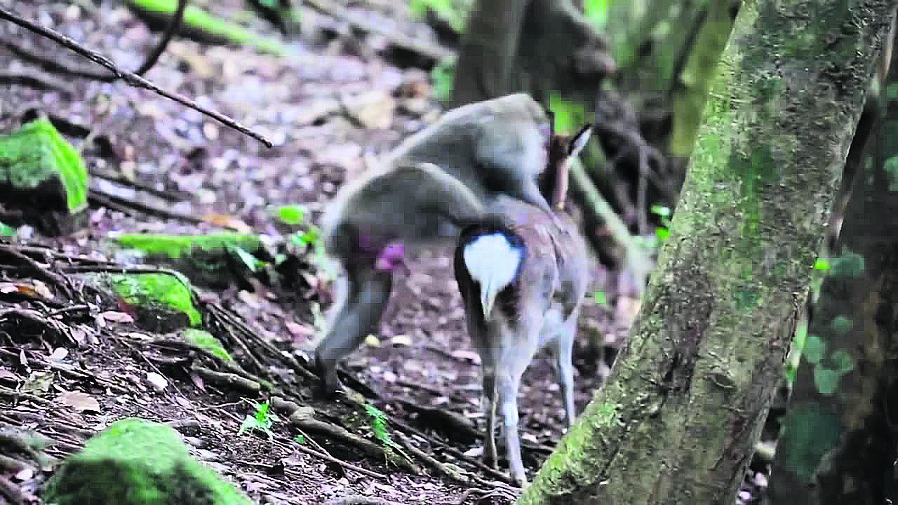 makakas-elafina-2 Ο παράφορος έρωτας του μακάκα με μια ελαφίνα [εικόνες & βίντεο]