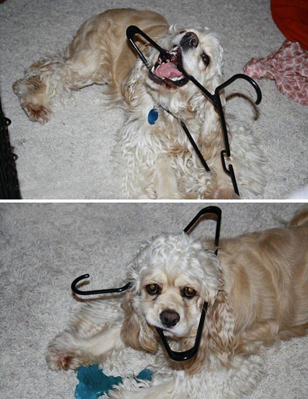skuloi5-500 Σκύλοι «ιδιοφυίες »: Περήφανοι ιδιοκτήτες μοιράζονται τα μεγαλύτερα... fail των κατοικίδιων τους [εικόνες]