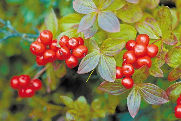 krania Ποια cranberries; Ιδού τα ελληνικά superfoods που πρέπει να τρως