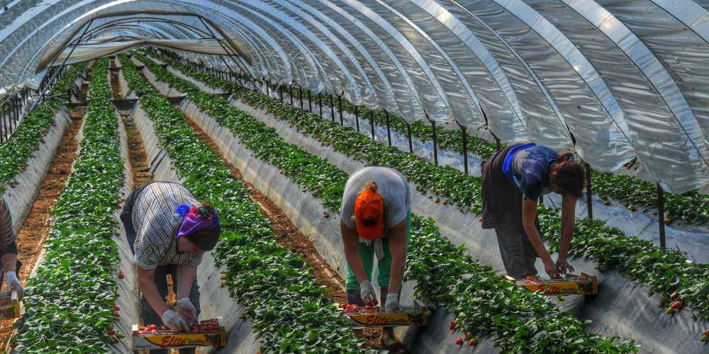 Μειώθηκε η ποινή για τις «ματωμένες» φράουλες της Μανωλάδας - Έκλεισε η υπόθεση