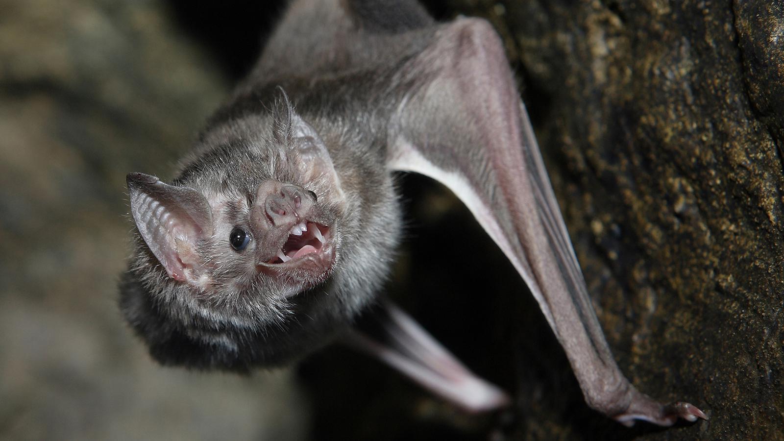 Ο εφιάλτης της νυχτερίδας – Από Κίνα, Φιλιππίνες ή Ινδία θα ξεκινήσει η νέα πανδημία