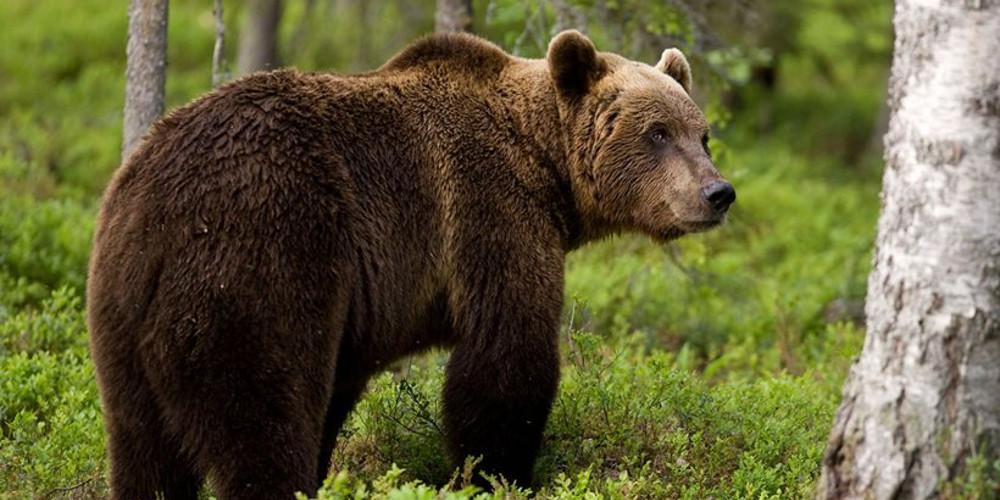 Καφέ αρκούδα σκότωσε κτηνοτρόφο- Το αίτημα αποζημίωσης των συγγενών απορρίφθηκε