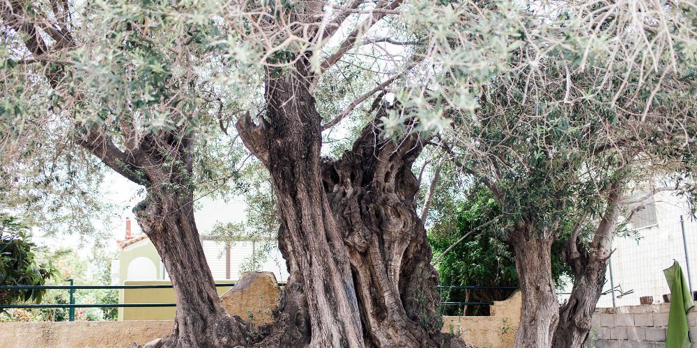 Νέα αυτοκτονία στην Κρήτη:Κρεμάστηκε σε ελιά στο αγρόκτημά του