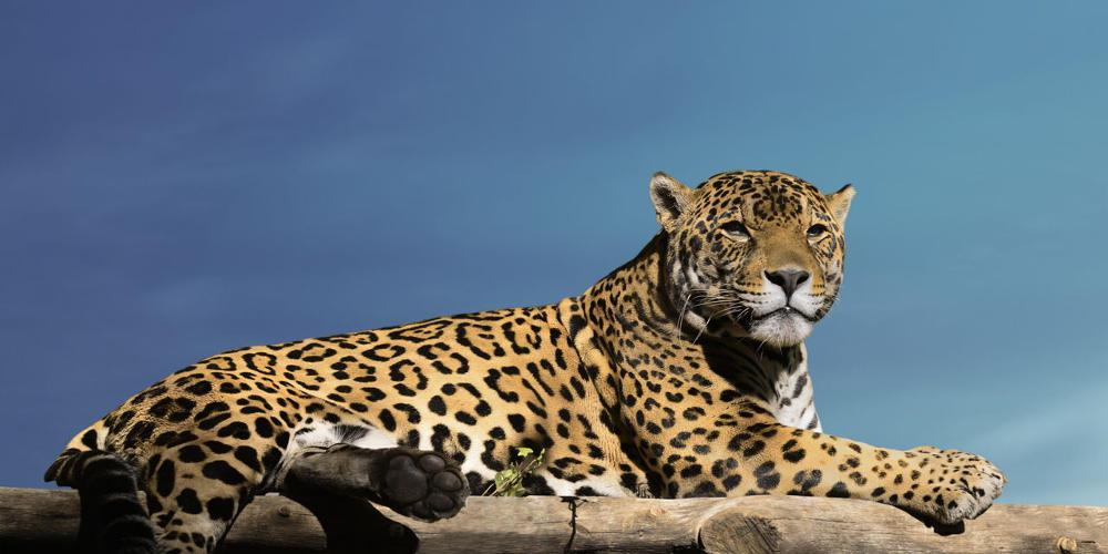 Σφοδρή επίθεση από το Αττικό Πάρκο στη Π.Φ.Π.Ο. για την θανάτωση τζάγκουαρ: Αιδώς υποκριτές