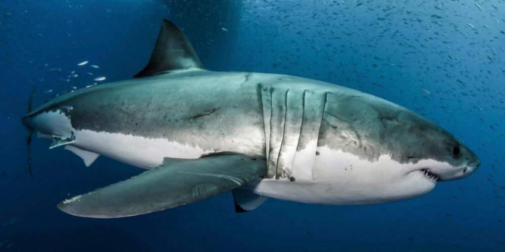 Πώς το DNA του λευκού καρχαρία μπορεί να συμβάλλει στη μάχη κατά του καρκίνου
