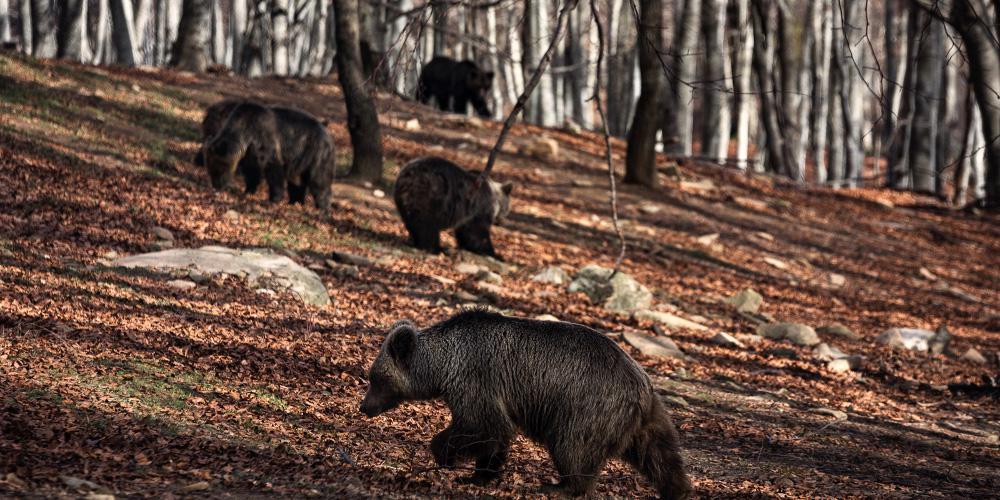 Με μια «απουσία», ξύπνησαν από την χειμερία νάρκη, οι αρκούδες στο καταφύγιο του «Αρκτούρου»