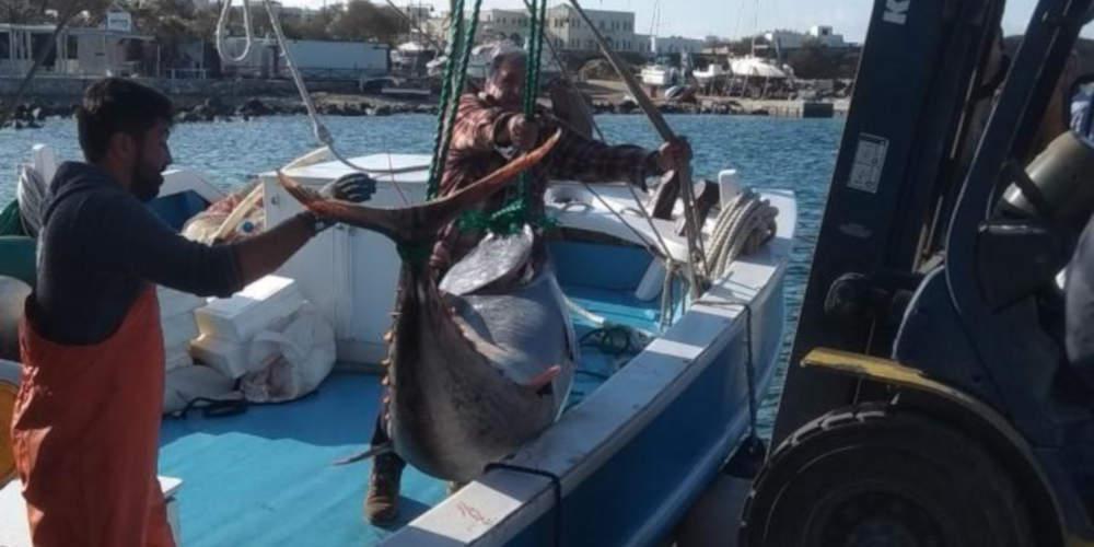 Απίστευτο: Πιάσαν ψάρι γίγαντα 750 κιλών στη Νάξο!