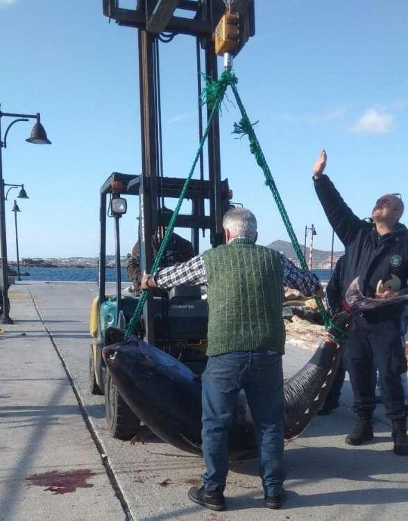 Απίστευτο: Πιάσαν ψάρι γίγαντα 750 κιλών στη Νάξο