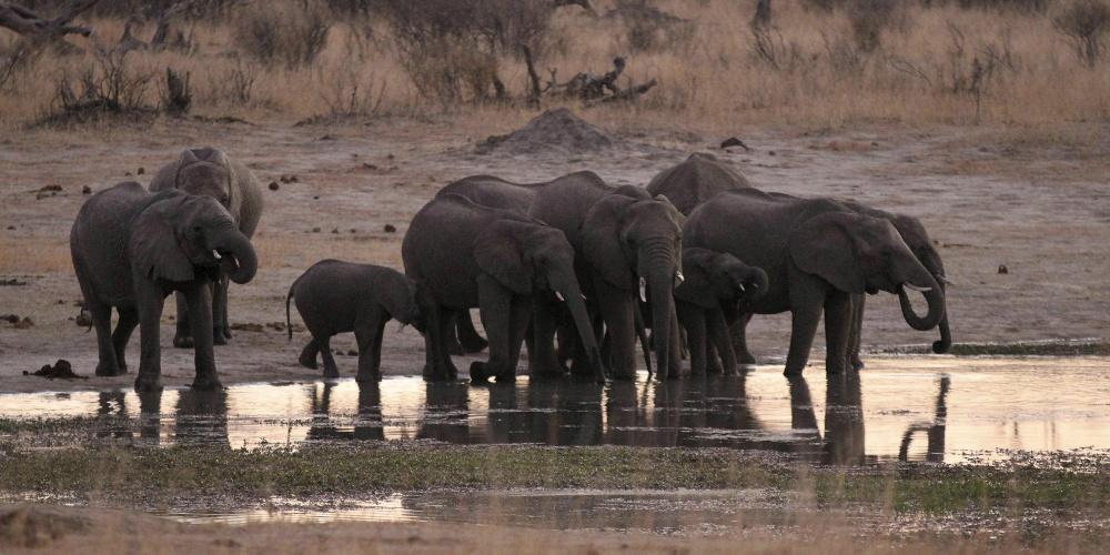 Εκατό ελέφαντες πέθαναν από την ξηρασία στην Μποτσουάνα