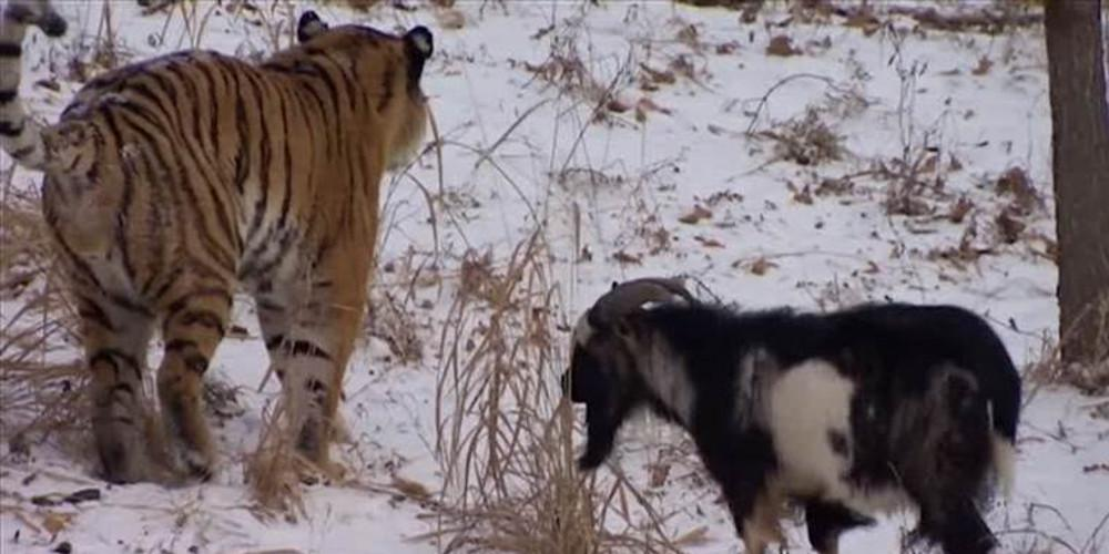 Ηλικίας περίπου πέντε ετών, ο Τιμούρ δεν είχε δείξει κανέναν φόβο όταν τον είχαν βάλει μέσα στο κλουβί του τίγρη