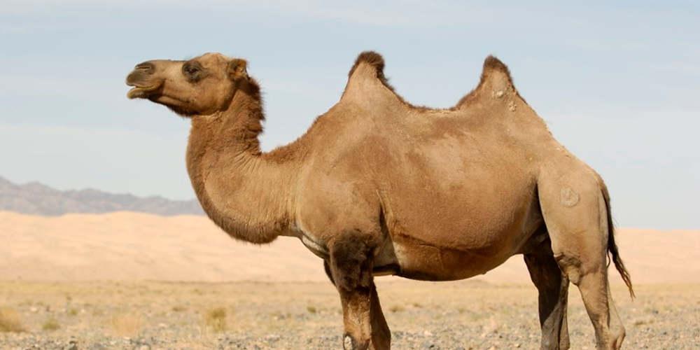 Απίστευτο: Ελεύθεροι σκοπευτές σκότωσαν 5.000 καμήλες στην Αυστραλία για να μην «σπαταλούν» νερό