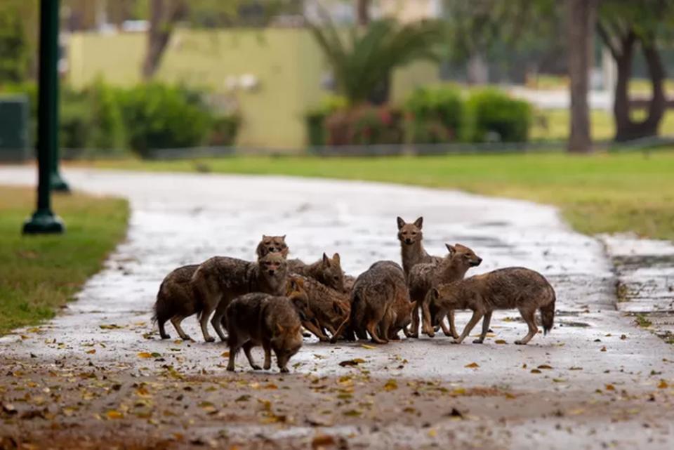 Τα περίεργα της καραντίνας: Τσακάλια κατέλαβαν ένα πάρκο που ερήμωσε