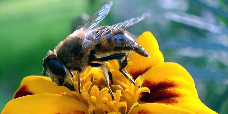 Παγκόσμια Ημέρα Μέλισσας: Πώς καθιερώθηκε - Η ιστορία