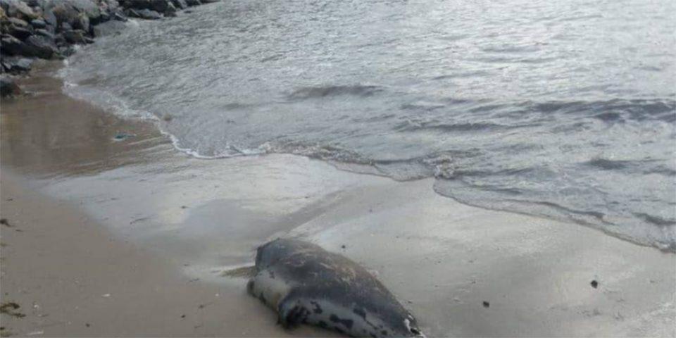 Ρωσία: Πάνω από 150 φώκιες βρέθηκαν νεκρές σε παραλία της Κασπίας