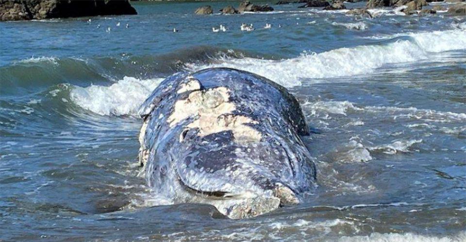 Τέσσερις γκρίζες φάλαινες ξεβράστηκαν νεκρές σε παραλίες του Σαν Φρανσίσκο [εικόνες]