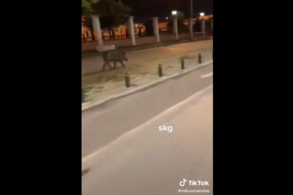Θεσσαλονίκη: Έτοιμο για τα Λαδάδικα το αγριογούρουνο – Δείτε την νέα του εμφάνιση [βίντεο]