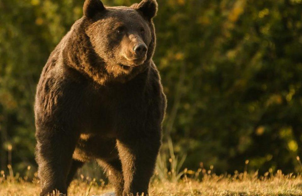 Ρουμανία: Ο «βασιλιάς» των αρκούδων σκοτώθηκε από έναν πρίγκιπα του Λιχτενστάιν