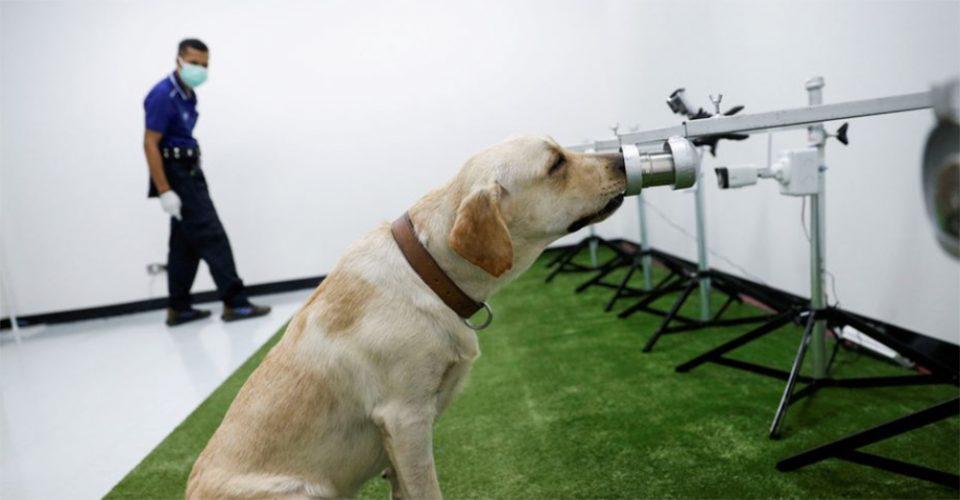 Ταϊλάνδη: Σκύλοι - ανιχνευτές μυρίζουν στον ιδρώτα τον κορωνοϊό