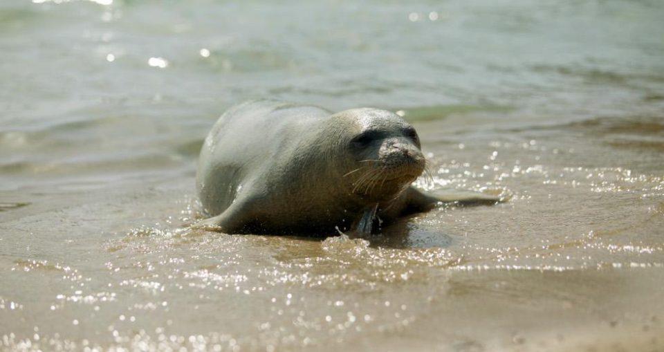 Αλόννησος: Αμοιβή για πληροφορίες σχετικά με την δολοφονία της φώκιας