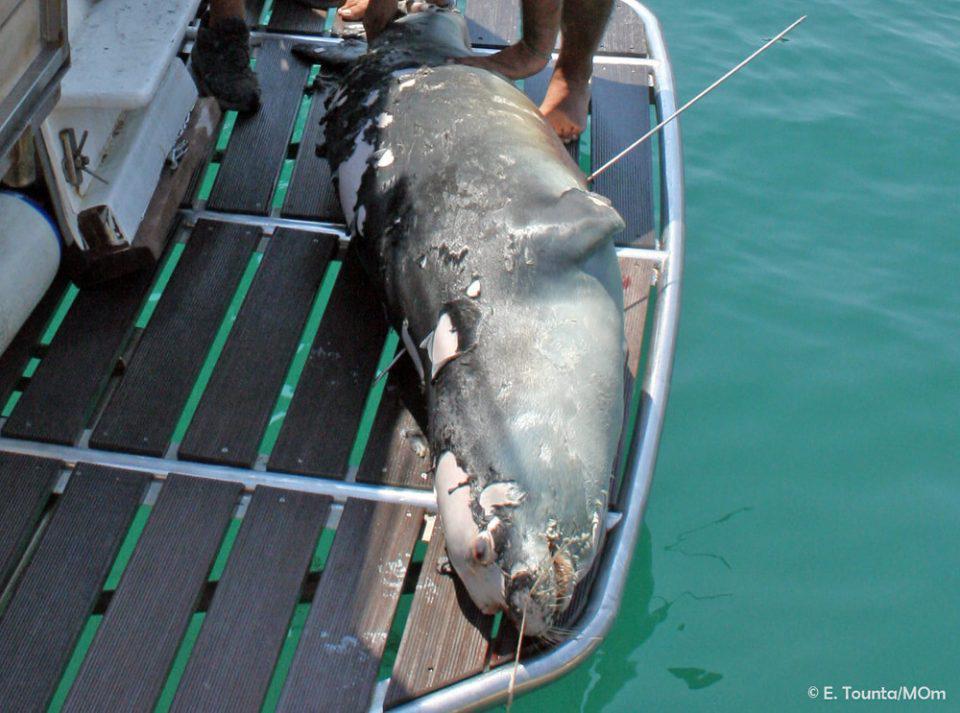 Νεκρός ο «Κωστής», η διάσημη φώκια της Αλοννήσου από ψαροντούφεκο